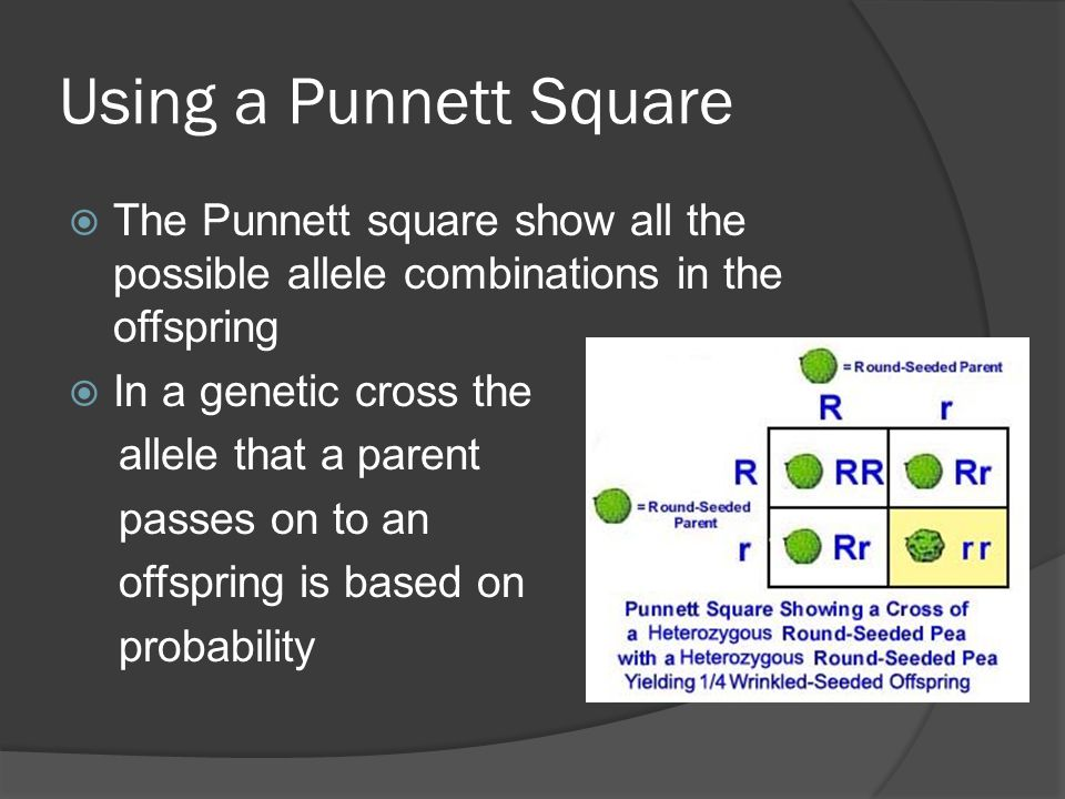 Using a Punnett Square The Punnett square show all the possible allele combinations in the offspring.