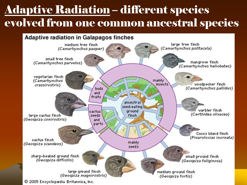 Adaptive Radiation – different species