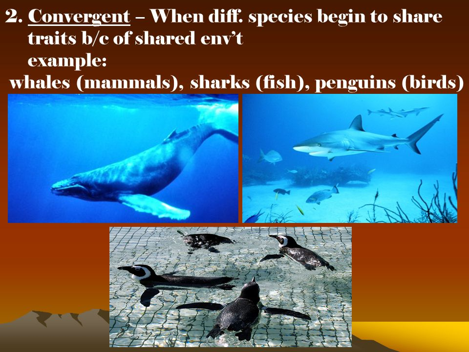 2. Convergent – When diff. species begin to share