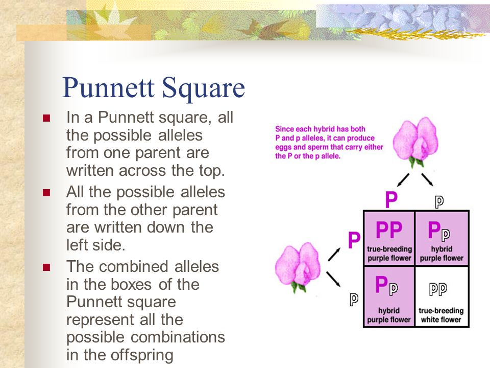 Punnett Square In a Punnett square, all the possible alleles from one parent are written across the top.