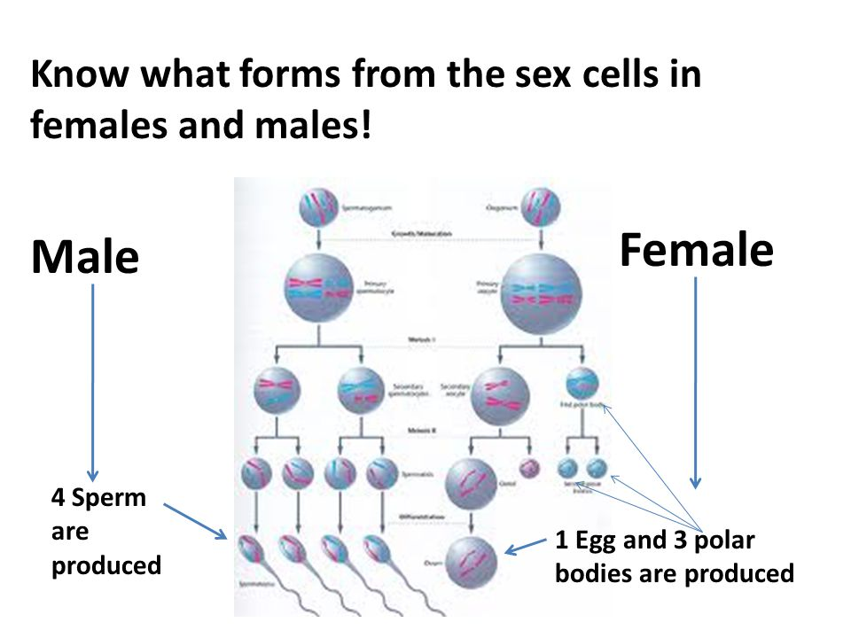 Female Male Know what forms from the sex cells in females and males!