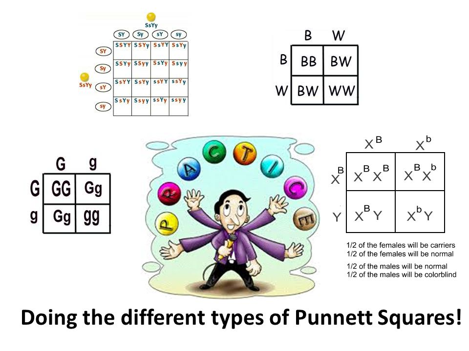 Doing the different types of Punnett Squares!