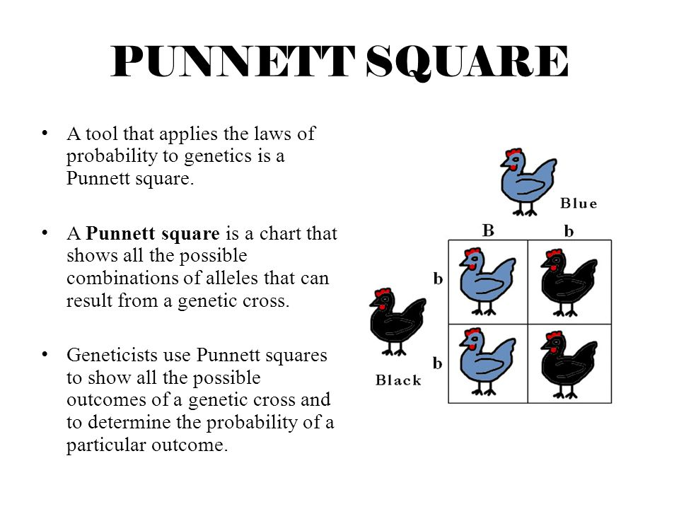 PUNNETT SQUARE A tool that applies the laws of probability to genetics is a Punnett square.