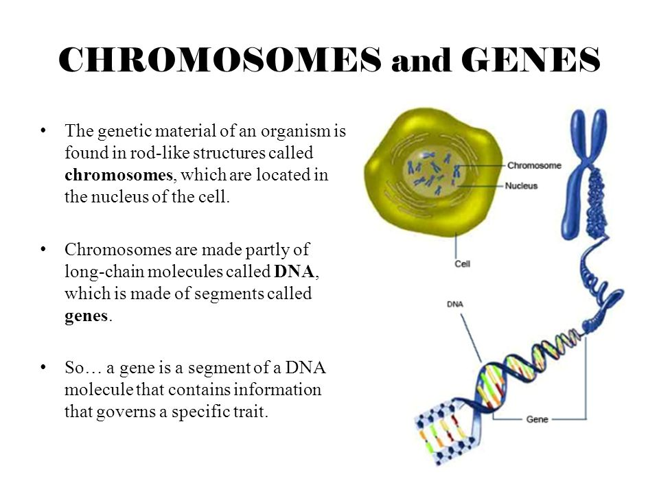 CHROMOSOMES and GENES
