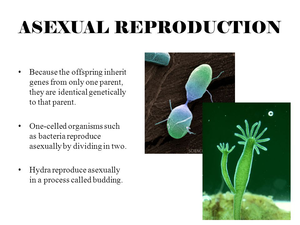 ASEXUAL REPRODUCTION Because the offspring inherit genes from only one parent, they are identical genetically to that parent.