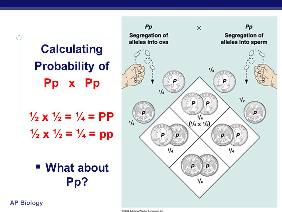 Calculating Probability of Pp x Pp ½ x ½ = ¼ = PP ½ x ½ = ¼ = pp What about Pp
