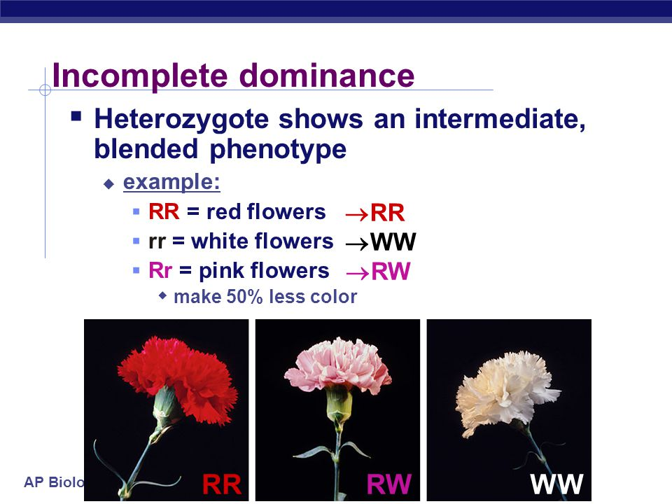 Incomplete dominance Heterozygote shows an intermediate, blended phenotype. example: RR = red flowers.
