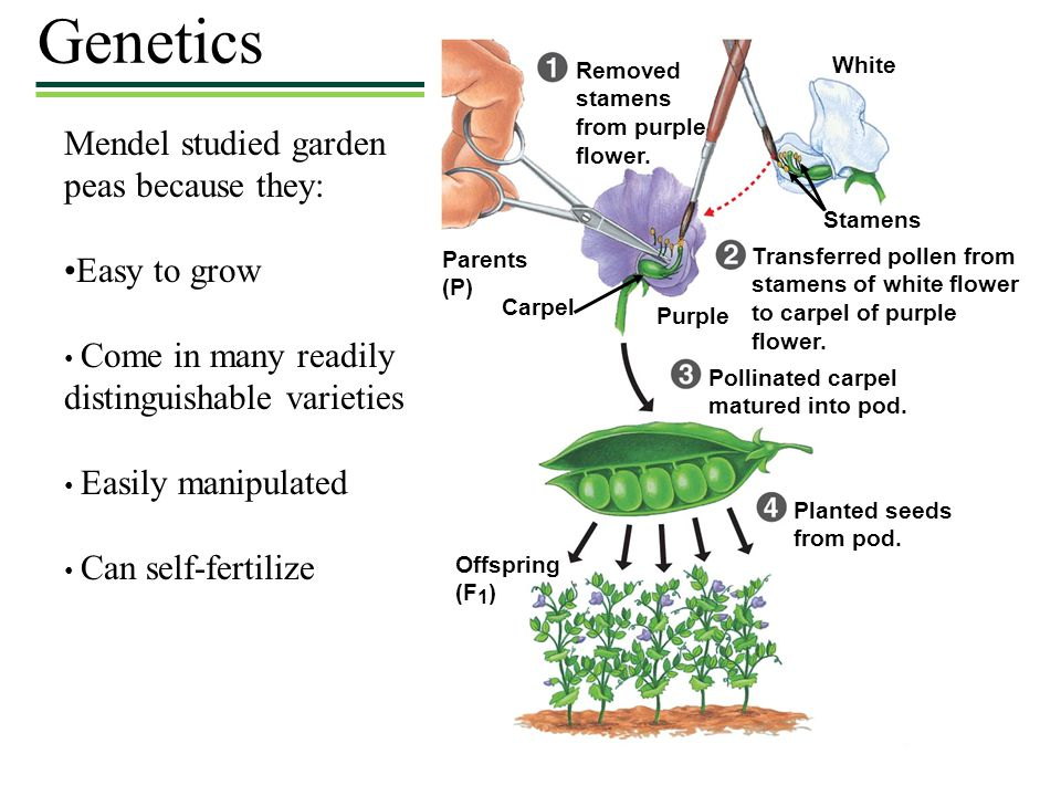 Genetics Mendel studied garden peas because they: •Easy to grow