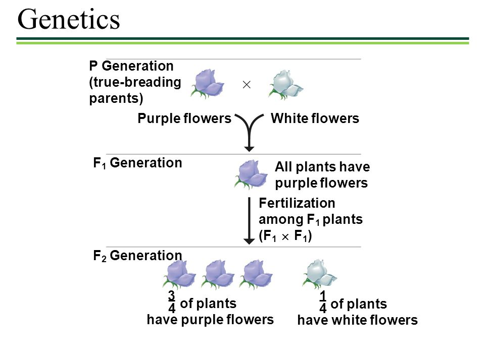 Genetics P Generation (true-breading parents) Purple flowers