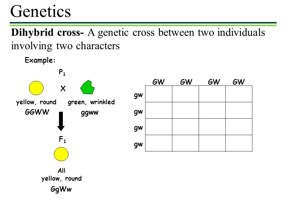 Genetics Dihybrid cross- A genetic cross between two individuals involving two characters. Example: