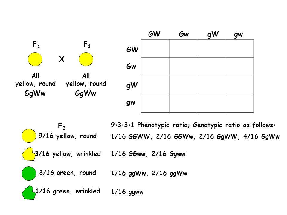 GW Gw gW gw F1 GW X Gw gW GgWw gw F2 All yellow, round