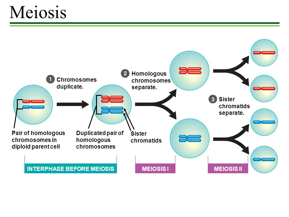 Meiosis Homologous chromosomes separate. Chromosomes duplicate. Sister