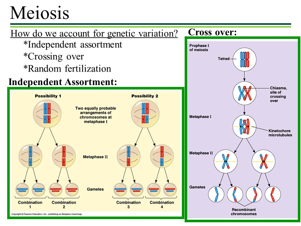 Meiosis Cross over: How do we account for genetic variation