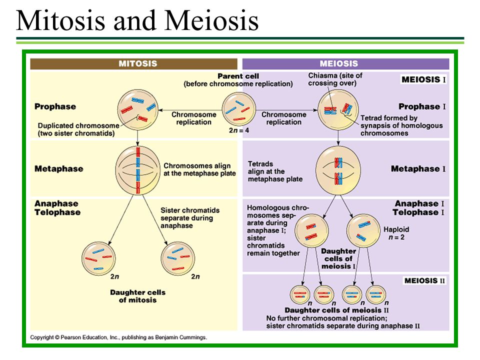 Mitosis and Meiosis 9