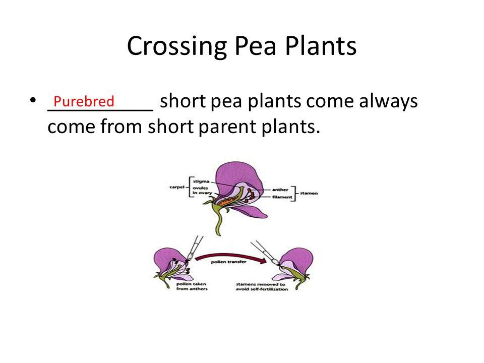 Crossing Pea Plants __________ short pea plants come always come from short parent plants. Purebred