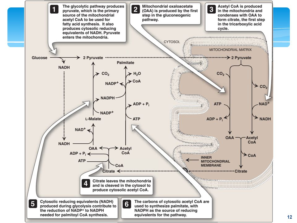 Interrelationship between glucose metabolism and palmitate synthesis.