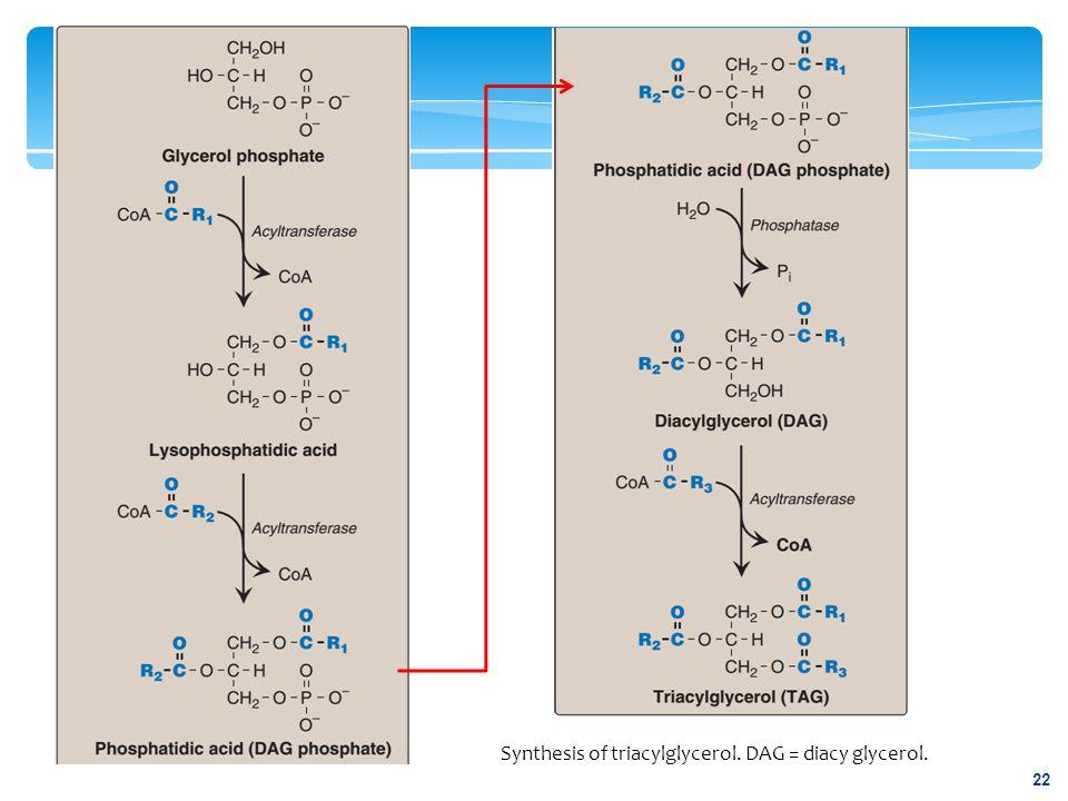 Synthesis of triacylglycerol. DAG = diacy glycerol.