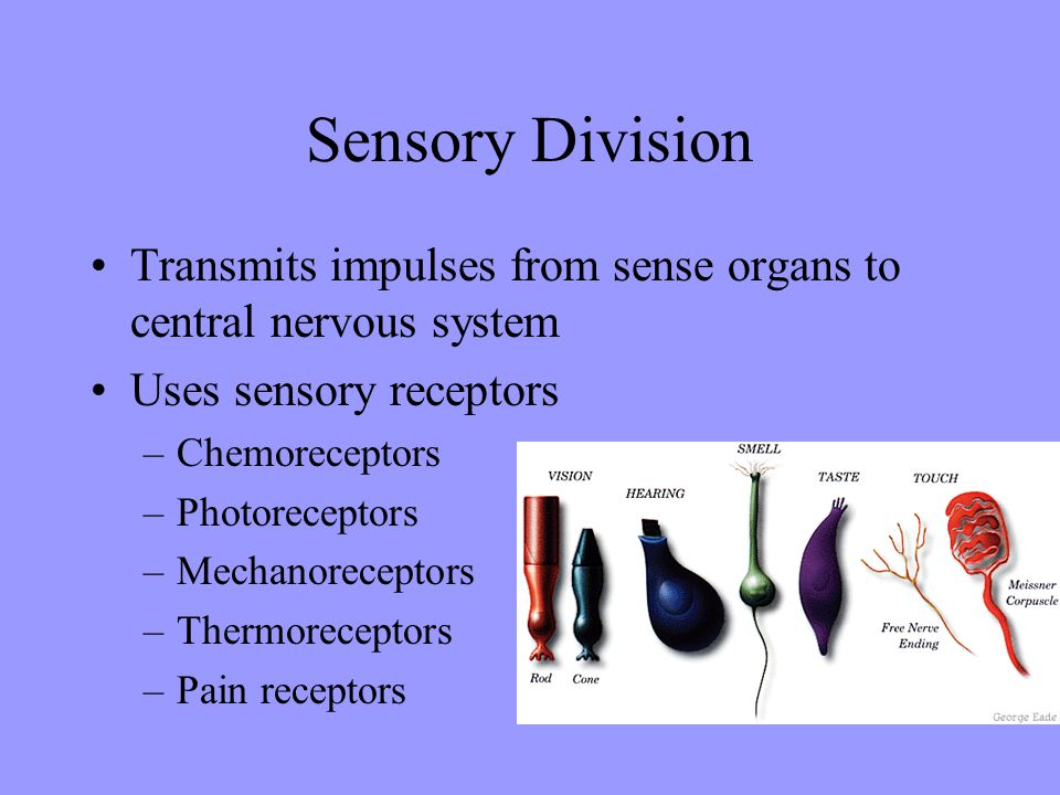 Sensory Division Transmits impulses from sense organs to central nervous system. Uses sensory receptors.