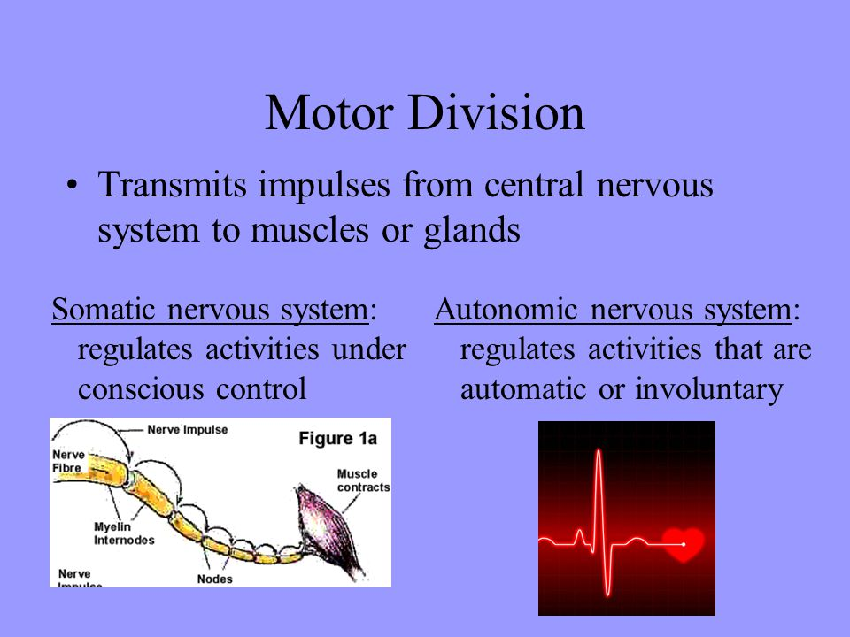 Motor Division Transmits impulses from central nervous system to muscles or glands.