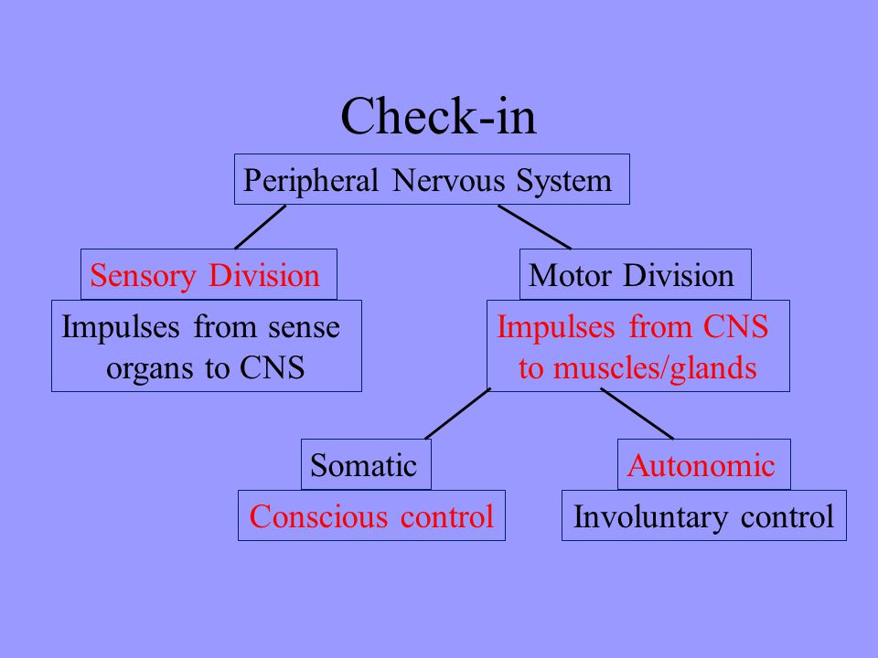 Check-in Peripheral Nervous System Sensory Division Motor Division