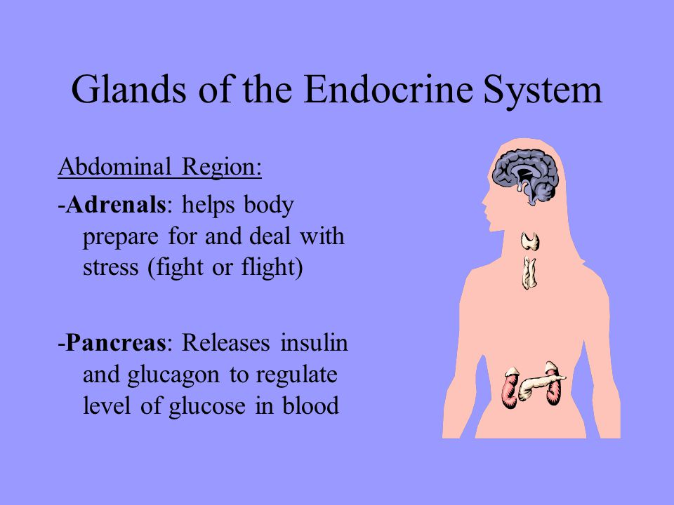 Glands of the Endocrine System