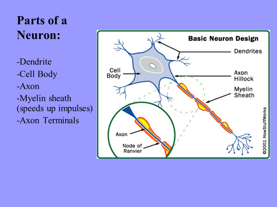 Parts of a Neuron: -Dendrite -Cell Body -Axon