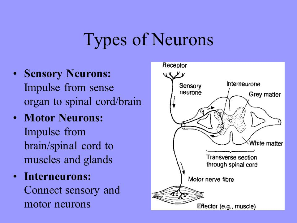 Types of Neurons Sensory Neurons: Impulse from sense organ to spinal cord/brain. Motor Neurons: Impulse from brain/spinal cord to muscles and glands.