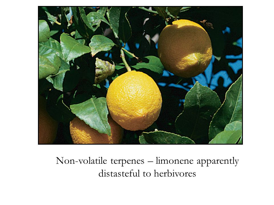 Non-volatile terpenes – limonene apparently distasteful to herbivores