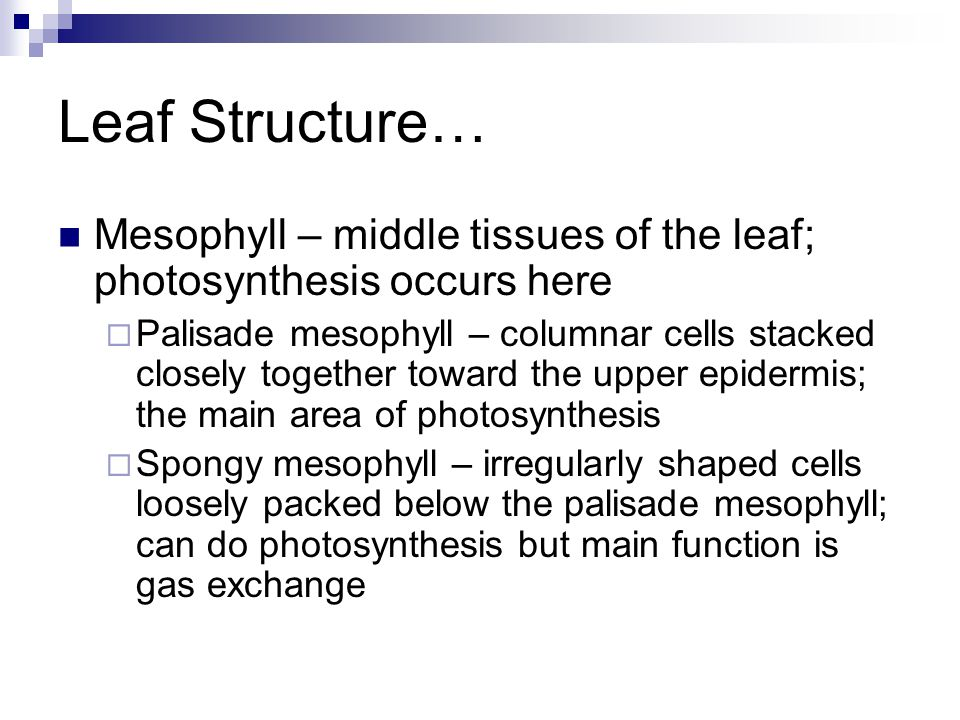 Leaf Structure… Mesophyll – middle tissues of the leaf; photosynthesis occurs here.