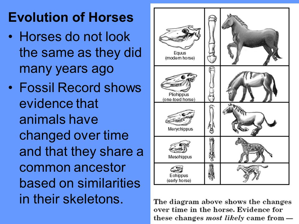 Evolution of Horses Horses do not look the same as they did many years ago.