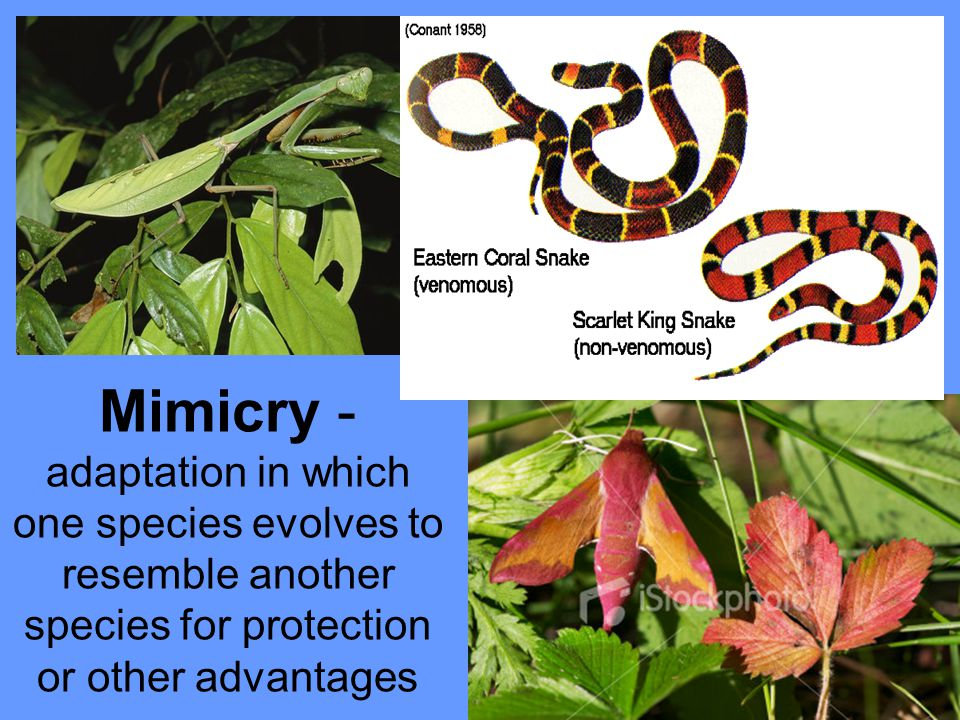 Mimicry - adaptation in which one species evolves to resemble another species for protection or other advantages