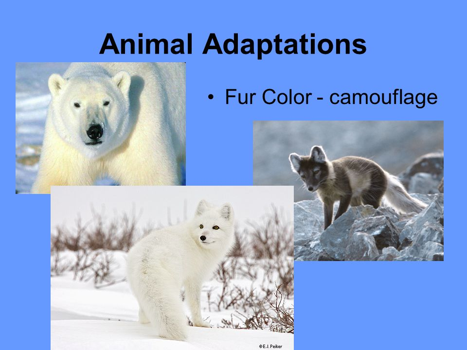 Animal Adaptations Fur Color - camouflage