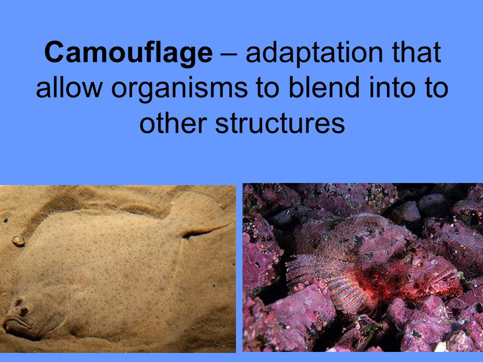 Camouflage – adaptation that allow organisms to blend into to other structures
