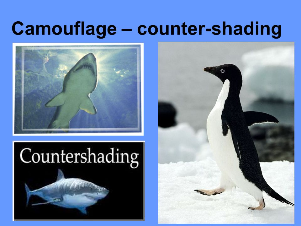 Camouflage – counter-shading