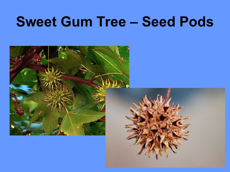 Sweet Gum Tree – Seed Pods