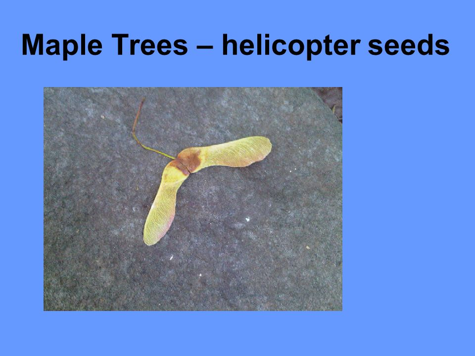 Maple Trees – helicopter seeds