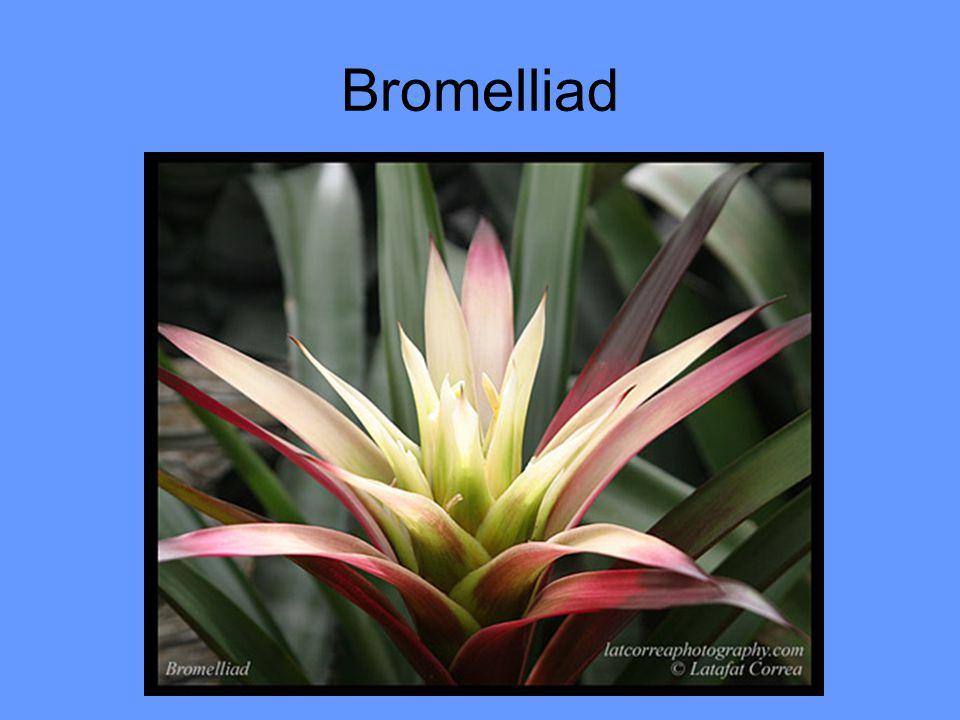Bromelliad