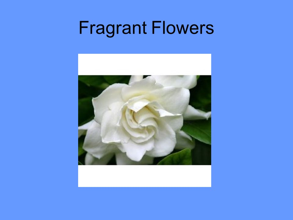 Fragrant Flowers