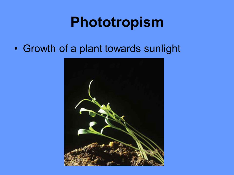 Phototropism Growth of a plant towards sunlight