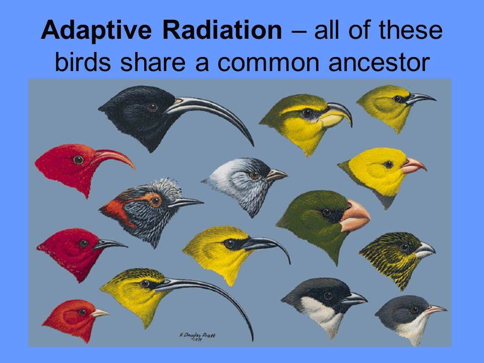 Adaptive Radiation – all of these birds share a common ancestor