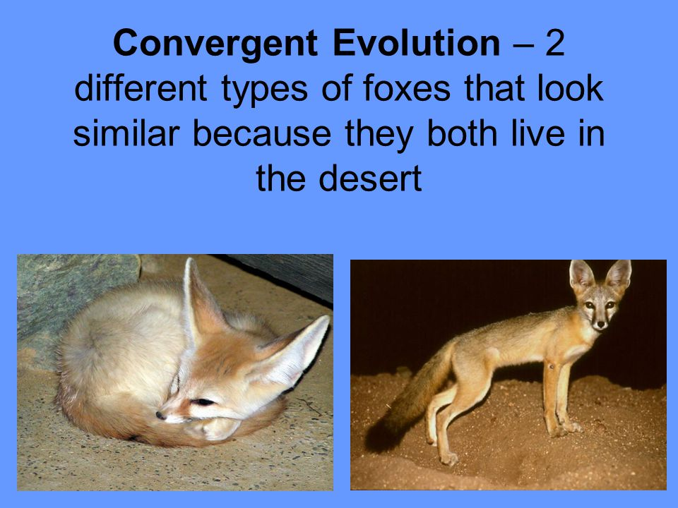 Convergent Evolution – 2 different types of foxes that look similar because they both live in the desert