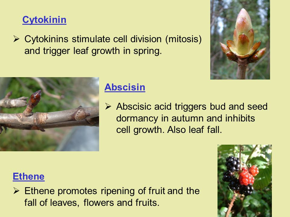Cytokinin Cytokinins stimulate cell division (mitosis) and trigger leaf growth in spring. Abscisin.