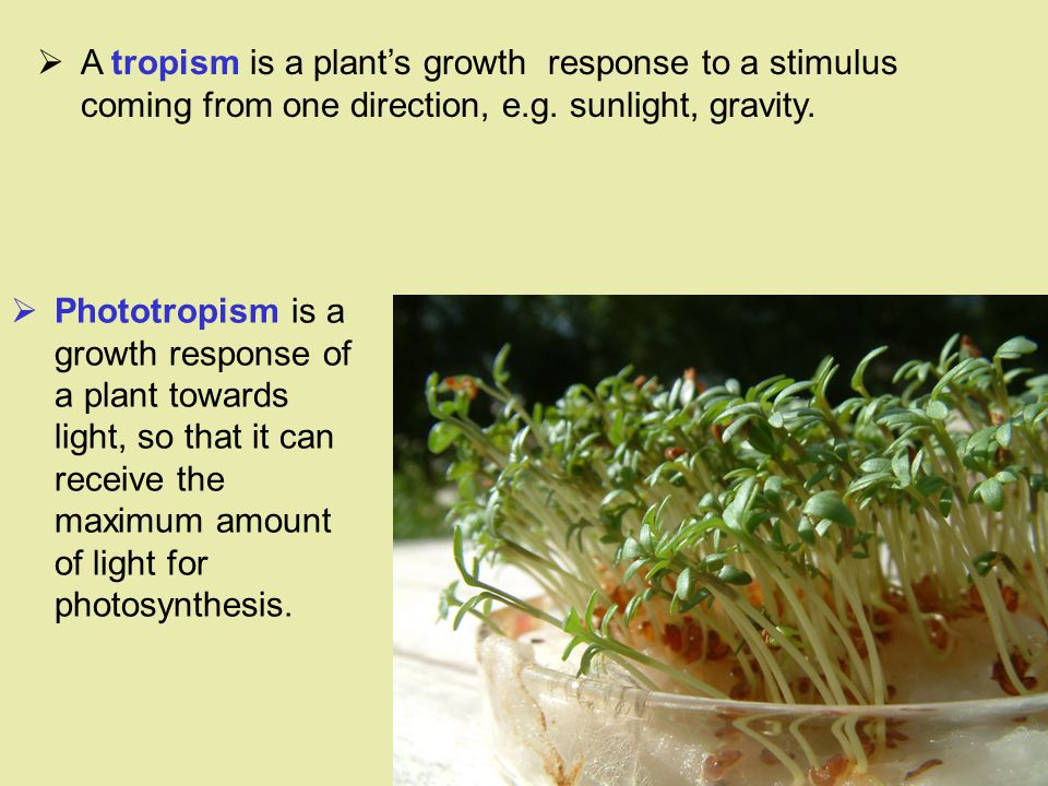 A tropism is a plant's growth response to a stimulus coming from one direction, e.g. sunlight, gravity.