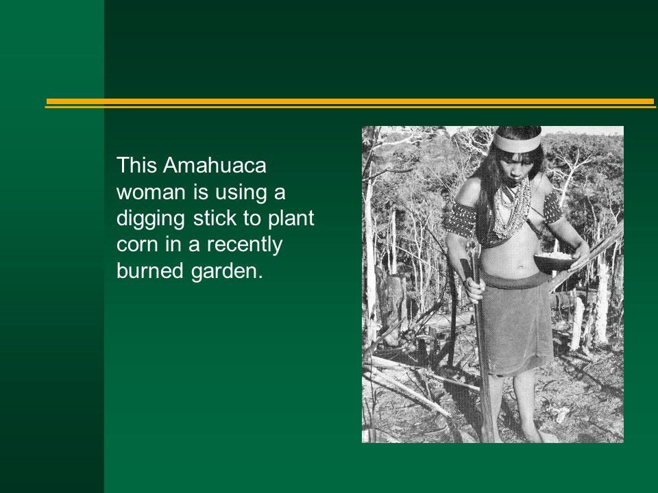 This Amahuaca woman is using a digging stick to plant corn in a recently burned garden.