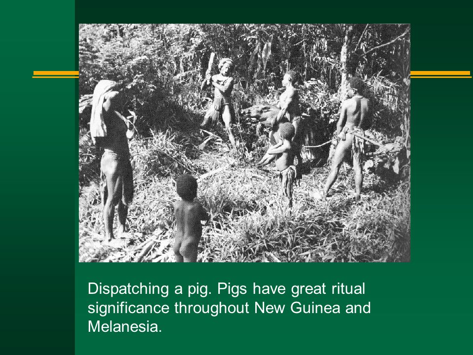 Dispatching a pig. Pigs have great ritual significance throughout New Guinea and Melanesia.