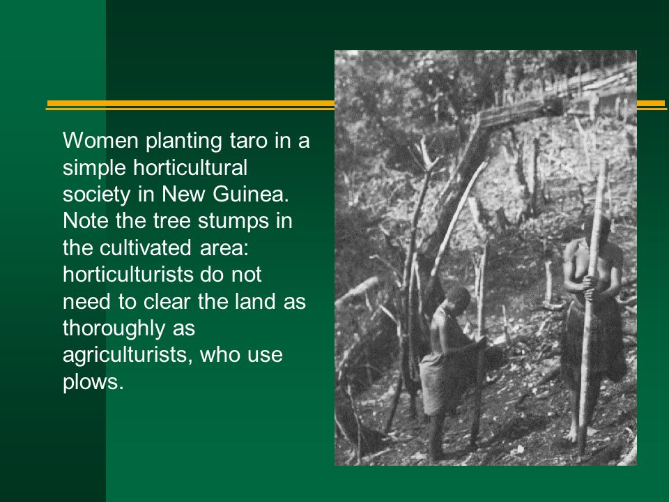Women planting taro in a simple horticultural society in New Guinea