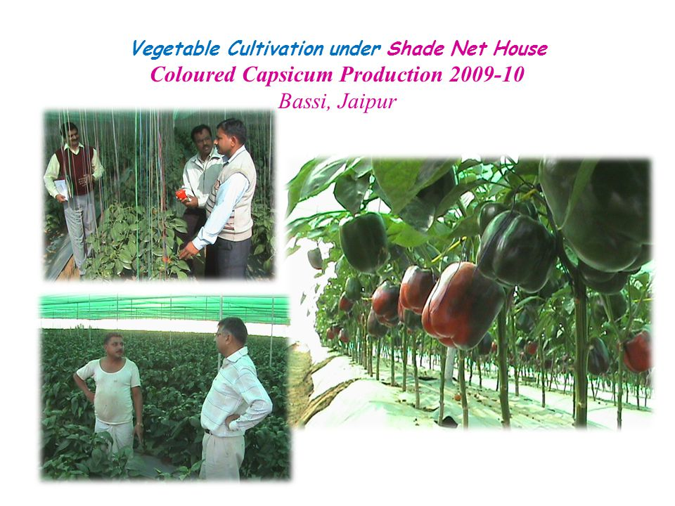 Coloured Capsicum Production 2009-10