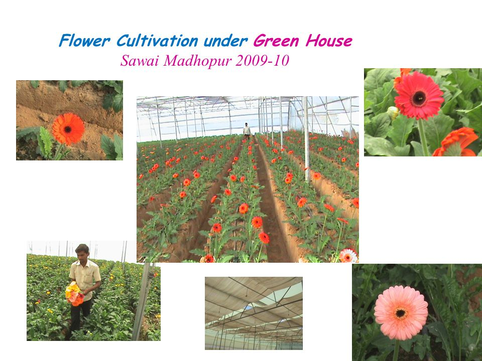 Flower Cultivation under Green House
