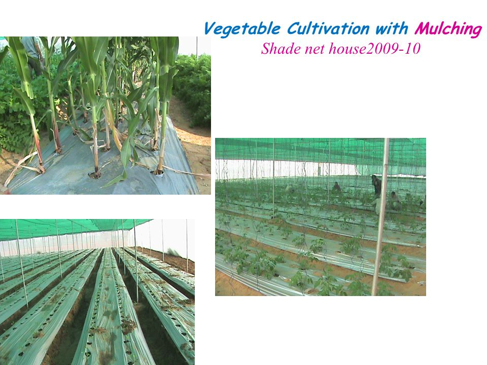 Vegetable Cultivation with Mulching