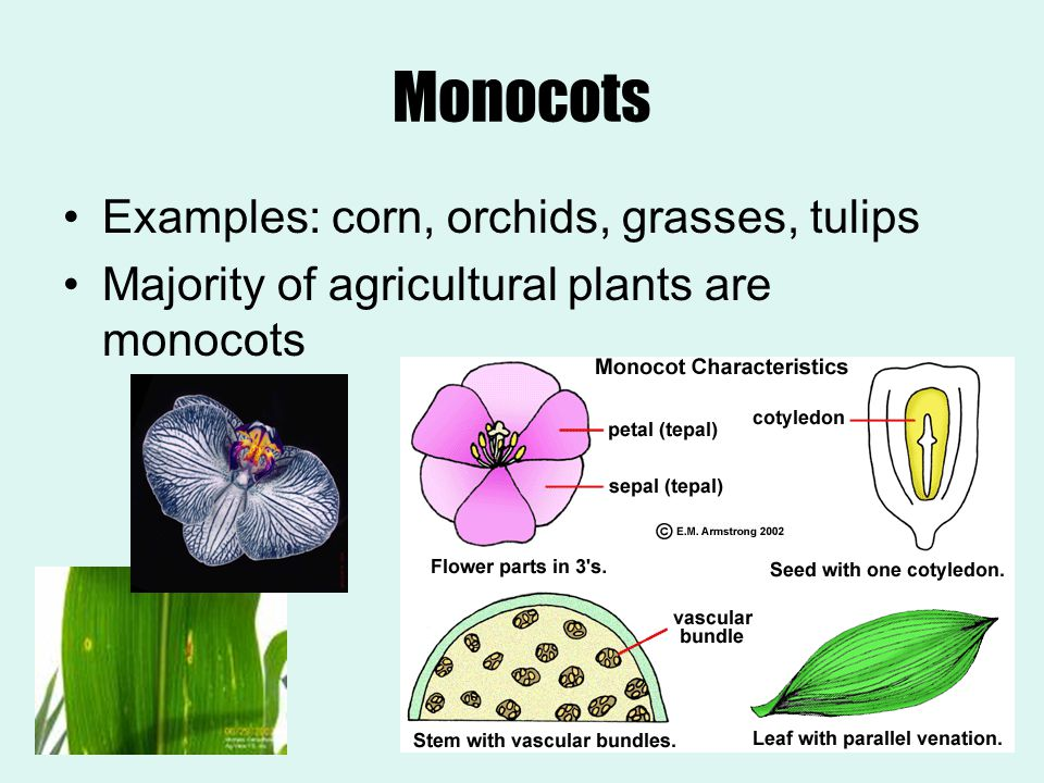 Monocots Examples: corn, orchids, grasses, tulips